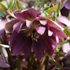 Helleborus Kingston Kardinal