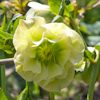 Helleborus Mrs. Betty Ranicar