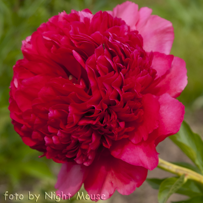 Paeonia Command Performance