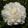Paeonia A. E. Kundred