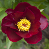 Paeonia Burnished Bronze