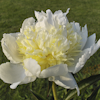 Paeonia Chedder Cheese
