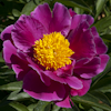 Paeonia Clown