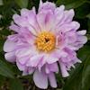 Paeonia Crazy Daisy