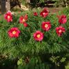 Paeonia Earlybird