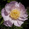 Paeonia Garden Lace