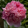 Paeonia Glowing Raspberry Rose
