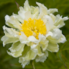 Paeonia Green Halo