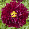 Paeonia Harry L Smith