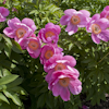 Paeonia Honor