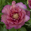 Paeonia Julia Rose