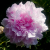 Paeonia Late Pink
