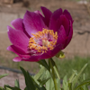 Paeonia Little Rhyme