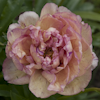 Paeonia Lollipop