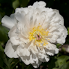 Paeonia Love Affair