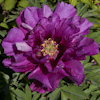 Paeonia Morning Lilac