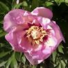 Paeonia Pastel Splendor