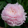 Paeonia Pillow Talk