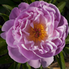 Paeonia Pink Delight
