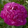 Paeonia Pink Jazz