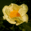 Paeonia Roy Pehrsons Best Yellow