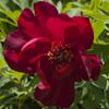 Paeonia Scarlet Heaven