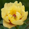 Paeonia Sequestered Sunshine