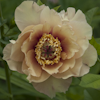 Paeonia Sonoma Welcome