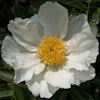 Paeonia White Wings